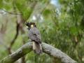 Kakadu černý žlutoocasý (Calyptorhynchus funereus)
