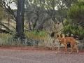 Dingo (Canis dingo)