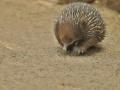 Ježura australská (Tachyglossus aculeatus)