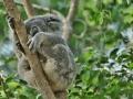 Koala medvídkovitý (Phascolarctos cinereus)