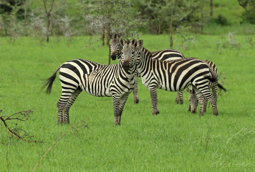 Zebra stepní (Equus quagga)