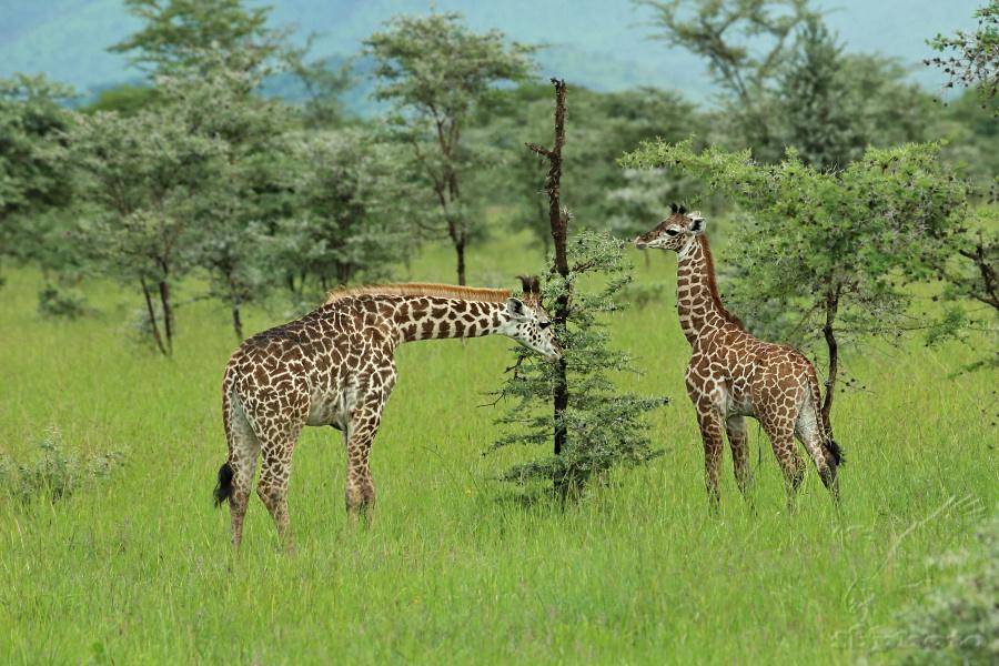 Žirafa (Giraffa camelopardalis)
