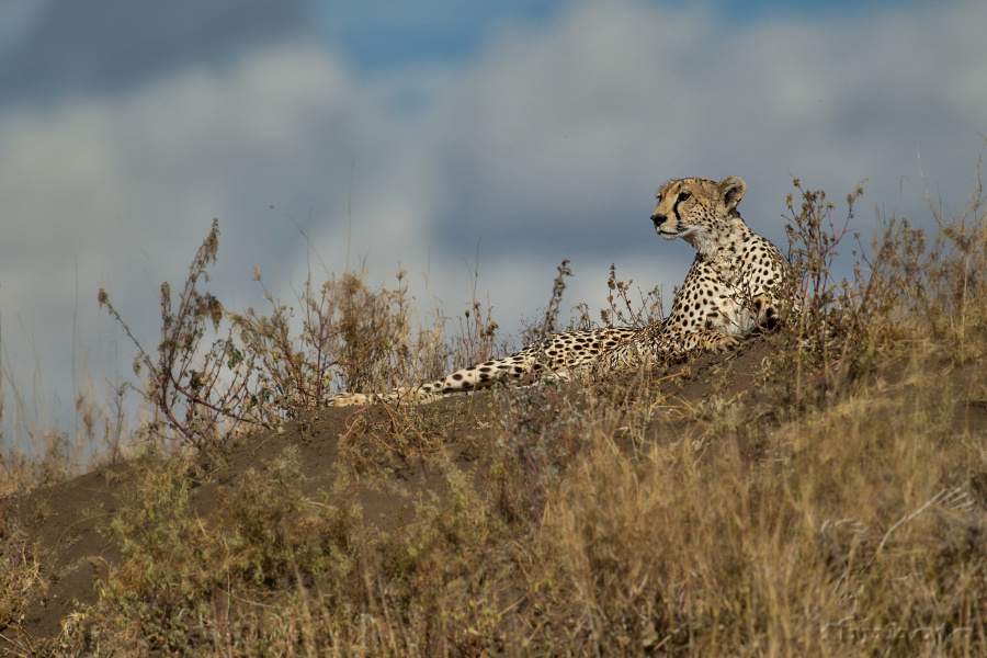 Gepard štíhlý (Acinonyx jubatus)