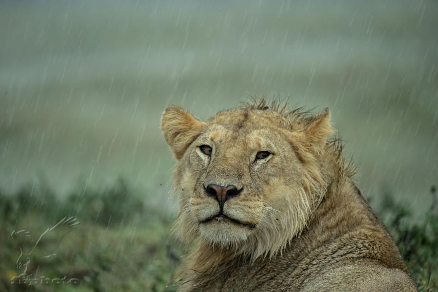 Lev pustinný (Panthera leo) v dešti