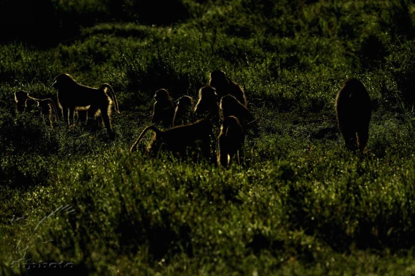 Pavián babuin (Papio cynocephalus)