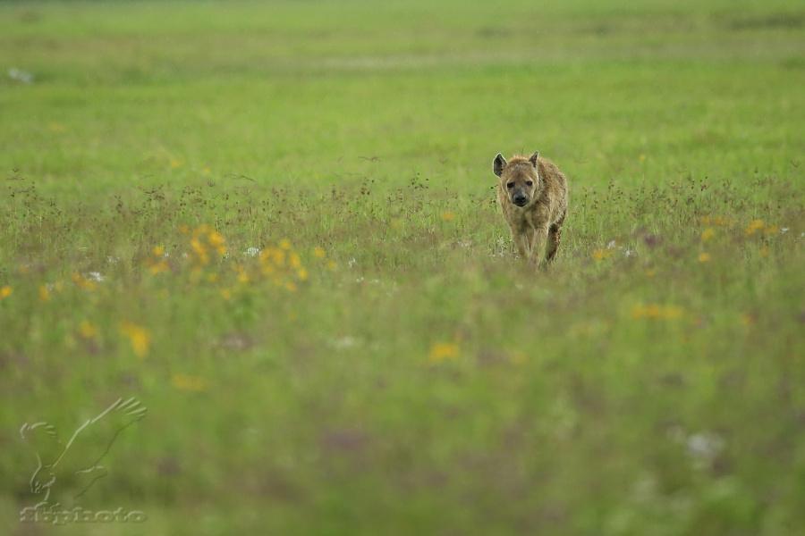 Hyena skvrnitá (Crocuta crocuta)