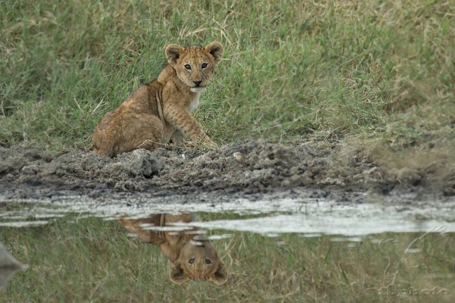 Lev pustinný (Panthera leo) lvíče