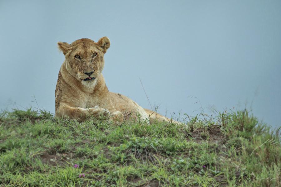 Lev pustinný (Panthera leo) lvice
