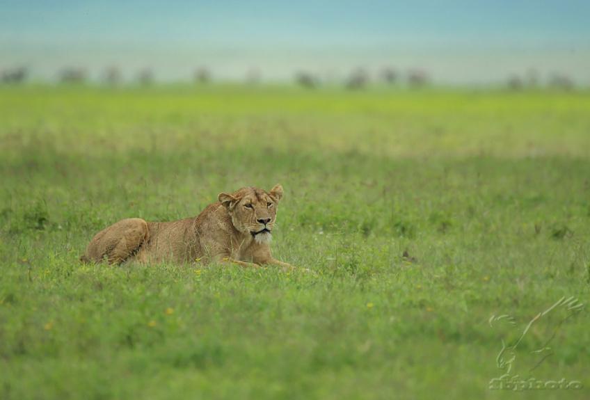 Lev pustinný (Panthera leo)