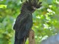 Kakadu černý červenoocasý (Calyptorhynchus banksii)