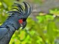 Kakadu palmový (Probosciger aterrimus)