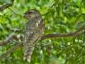 Lelkoun soví (Podargus strigoides)
