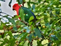 Papoušek královský (Alisterus scapularis)