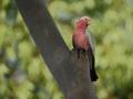 Kakadu růžový (Eolophus roseicapillus)