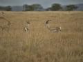 Gazela Thomsonova (Gazella thomsonii)
