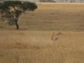 Gepard (Acinonyx jubatus) při lovu